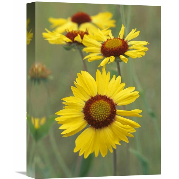 Nature Photographs Blanketflower Close Up Showing Dense Pistils in Center, North America by Tim Fitzharris Photographic Print on Wrapped Canvas by Global Gallery
