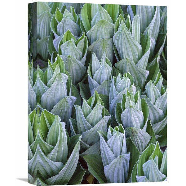 Nature Photographs False Hellebore with Frost, Gothic, Colorado by Tim Fitzharris Photographic Print on Wrapped Canvas by Global Gallery