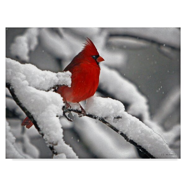 trademark art cardinal in snow photographic print on wrapped