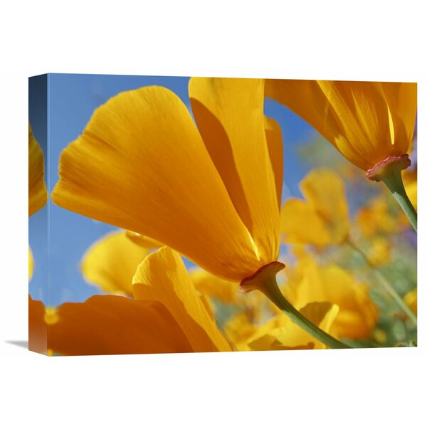 Nature Photographs California Poppy Flowers, Antelope Valley, California by Tim Fitzharris Photographic Print on Wrapped Canvas by Global Gallery