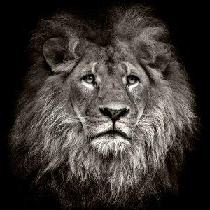 'Lion Head' Photographic Print by PRO ART