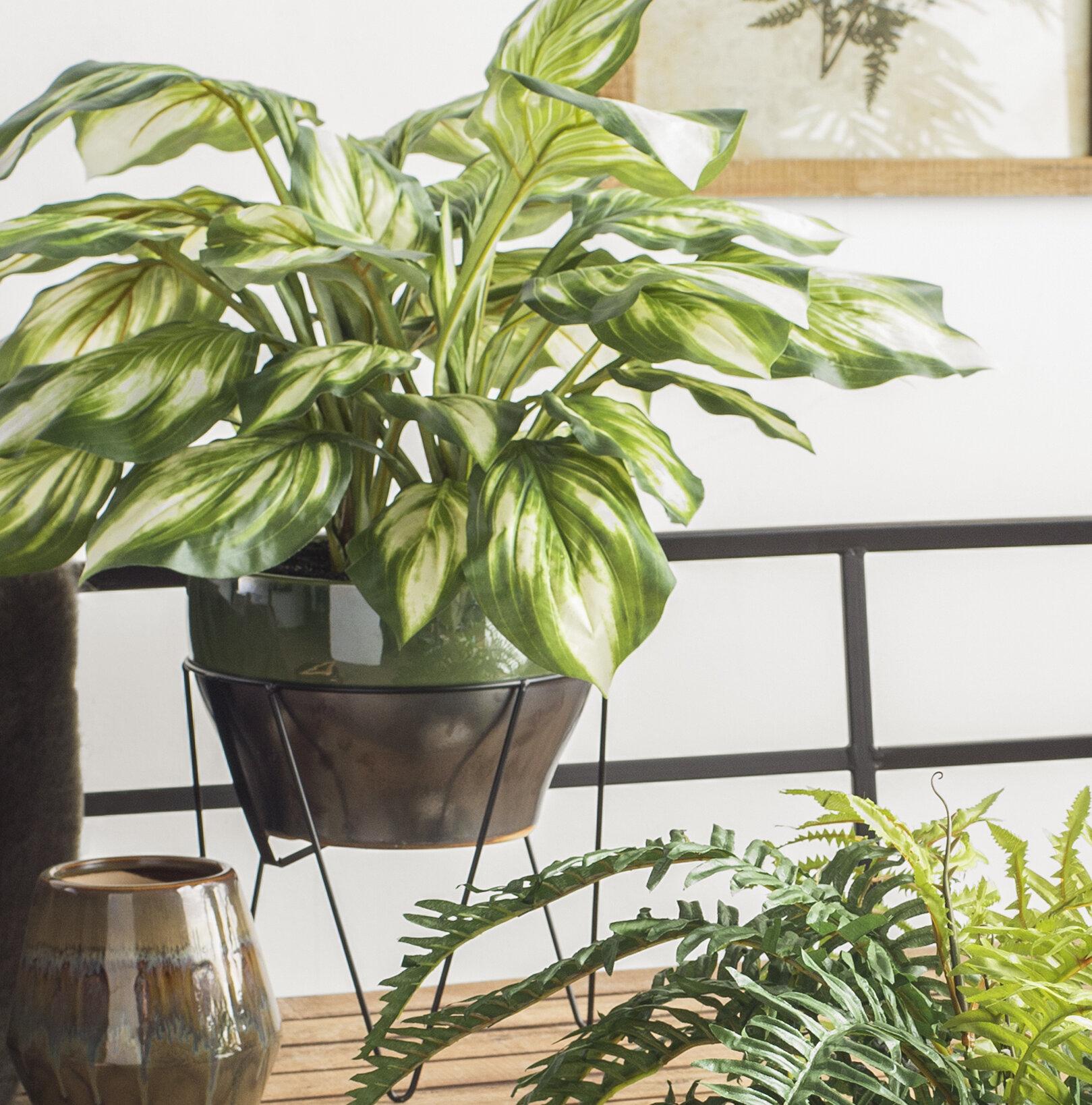 Longshore Tides Floor Hosta Plant In Pot Reviews Wayfair
