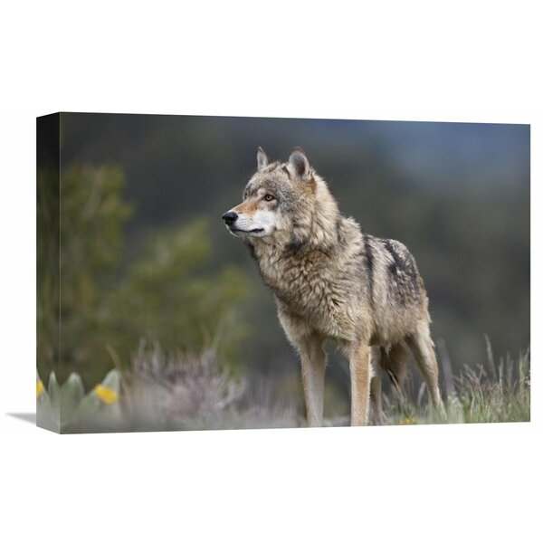 Nature Photographs Gray Wolf , North America by Tim Fitzharris Photographic Print on Wrapped Canvas by Global Gallery