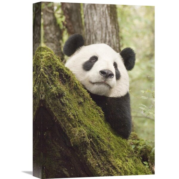 Nature Photographs Xiang Xiang, First Captive Raised Panda to be Released into The Wild, China by Katherine Feng Photographic Print on Wrapped Canvas by Global Gallery