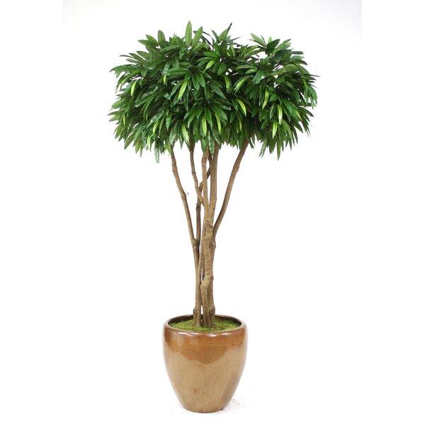 Canopy Mango Tree in Pot by Distinctive Designs