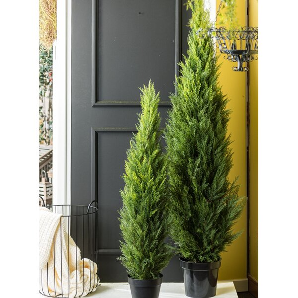 Floor Arborvitae Topiary in Pot by Alcott Hill