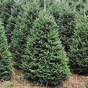 6 green fir tree freshly cut christmas tree - Real Christmas Trees