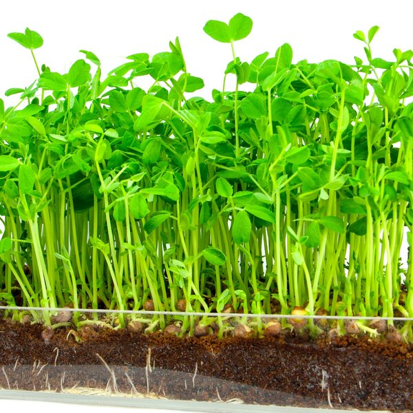 Microgreen Organic Pea Shoot 3 Pack Refill Growing Kit by Window Garden