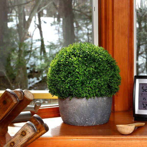 Babytear Smallball Desktop Foliage Plant in Cement Pot by Gracie Oaks