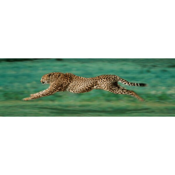 Cheetah Running Photographic Print on Wrapped Canvas by Buy Art For Less