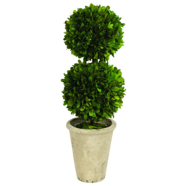 Double Ball Boxwood Round Tapered Topiary in Pot by Ophelia & Co.