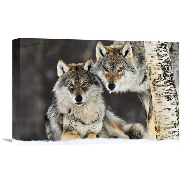 Nature Photographs Gray Wolf Pair in The Snow, Norway by Jasper Doest Photographic Print on Wrapped Canvas by Global Gallery