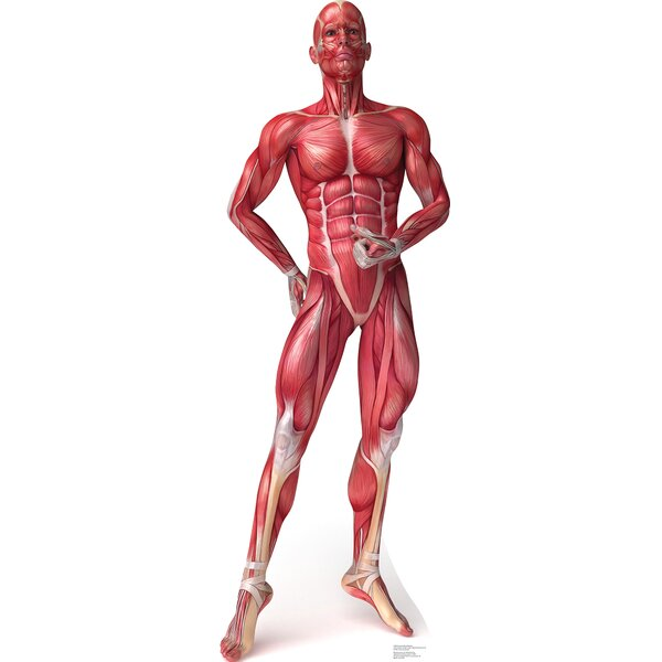 Anatomy Muscle System Cardboard Standup by Advanced Graphics