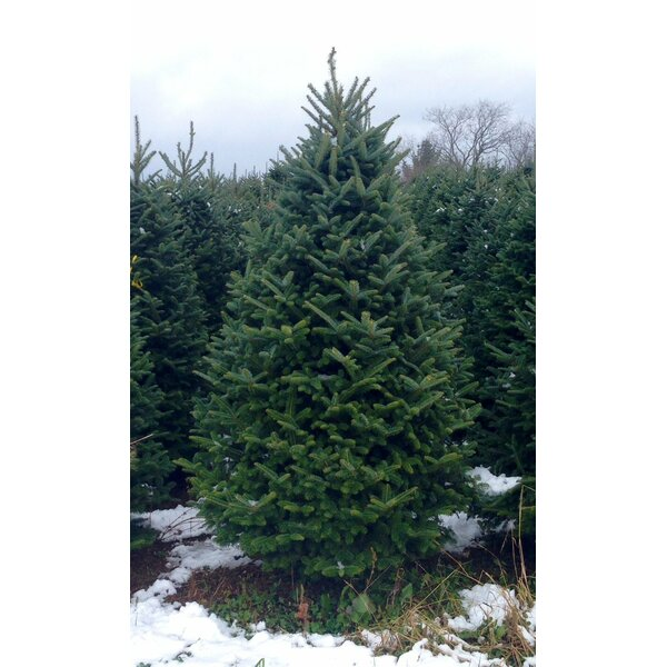 Real Christmas Trees Delivered 6' Green Fir Freshly Cut