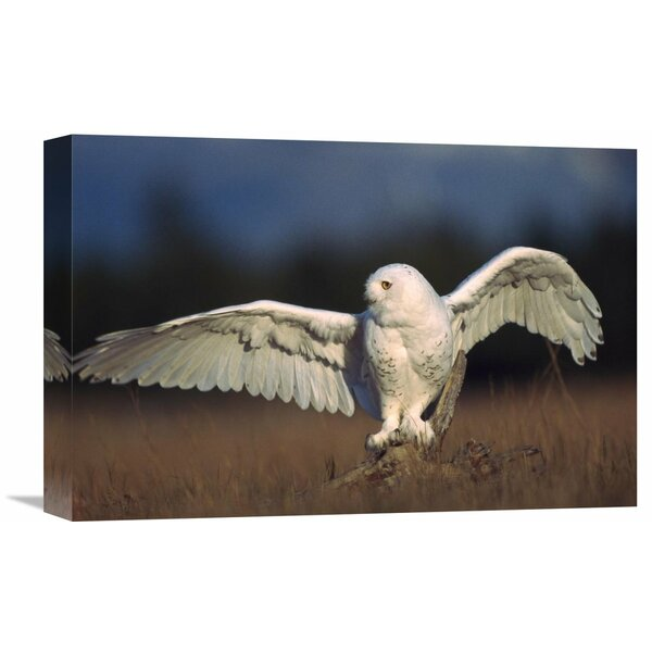 Nature Photographs Snowy Owl Adult Balancing on a Stump Amid Dry Grass, British Columbia, Canada Photographic Print on Wrapped Canvas by Global Gallery