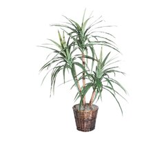Blue Marginata Tree in Basket