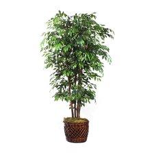 Elegant Ficus Tree in Basket
