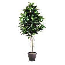 Rubber Tree in Planter
