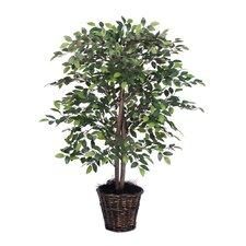 Mini Ficus Tree in Busket